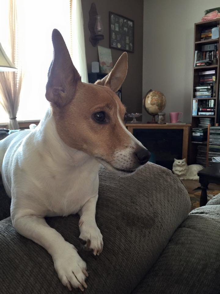 Dewey, a Jack Russell terrier, is a registered PTSD companion for Austin.